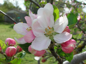 Apple_Blossom_1