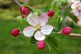 photo of apple blossom